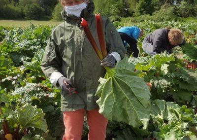 Mai 2020 toute première récolte de notre rhubarbe